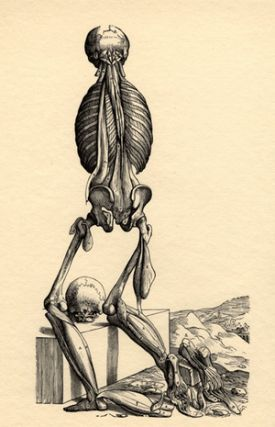 Icones anatomicae. Fourteenth muscleman, Fabrica (rear view). Andreas Vesalius.